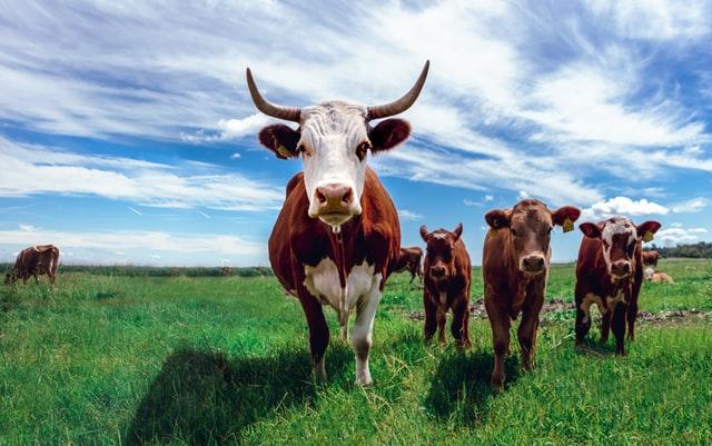 Lehmiä pellolla