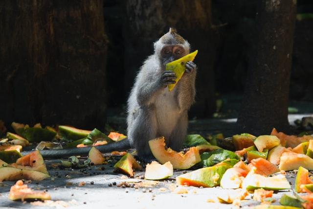Apina syö ruoan tähteitä